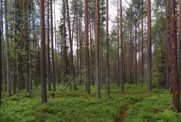 Voetpad in een dennenbos, veel groen op de grond, rechte stammen van pijnbomen, zomer