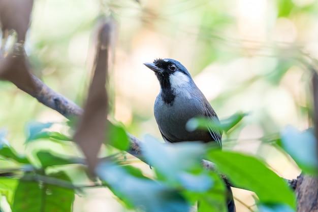 Vogel (black-throated laughingthrush) in de natuur