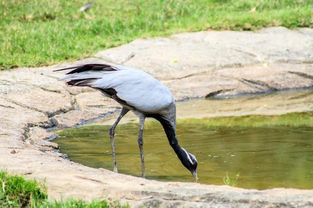 Vogel demoiselle kraan drinkwater