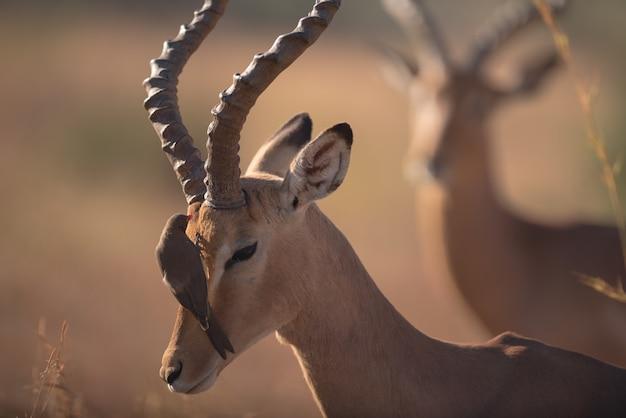 Vogel die zich op een gazellegezicht bevindt