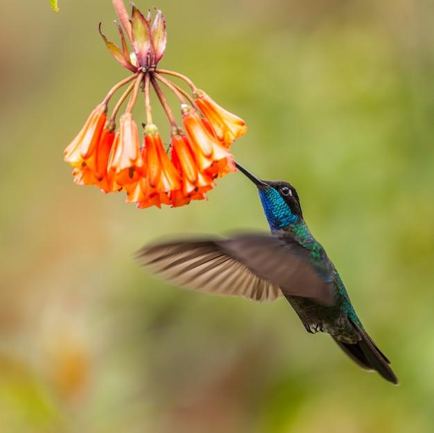 Vogel dier zoemende vogel op costa rica