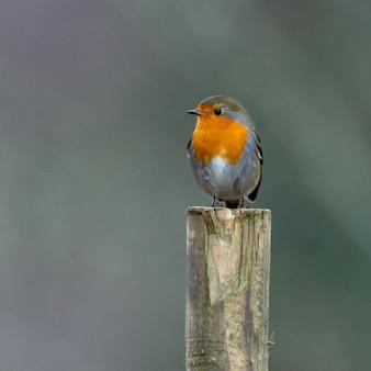 Vogel europees roodborstje zittend op een stokje.