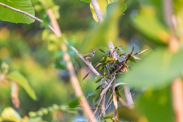 Vogel (gemeenschappelijke tailorbird) op boom in aardwild