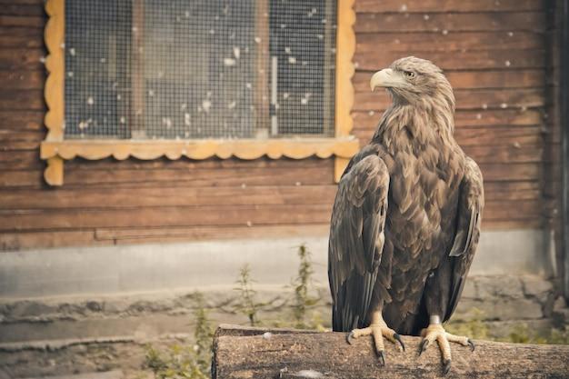 Vogel gouden adelaar in de dierentuin