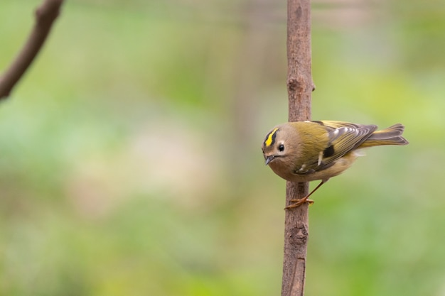 Vogel goudhaantje regulus regulus in het wild.