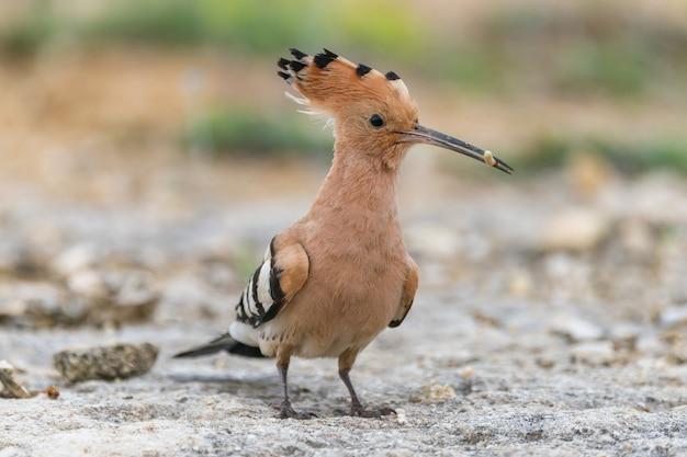Vogel hop upupa epops, in het wild.