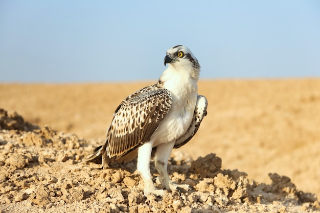 Vogel is een visarend op zand san close-up. portret van visarend (pandion haliaetus) zittend op de rotsrug in de sahara woestijn observatie dierenwereld. echt avontuur in rode zee, kust afrika