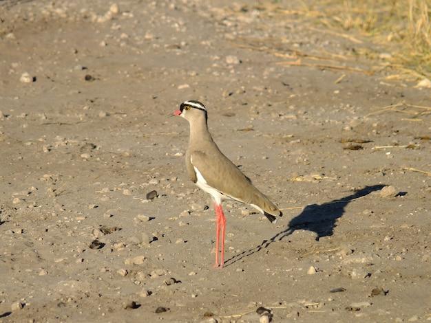 Vogel op de safari in chobe nationaal park, botswana, afrika