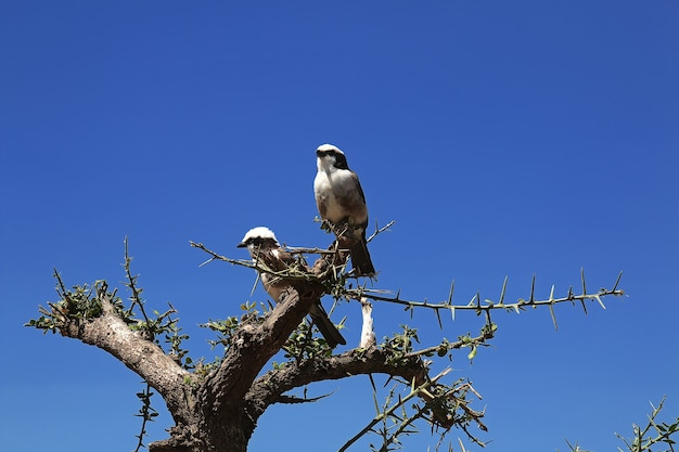 Vogel op safari in kenia en tanzania, afrika