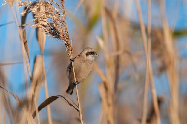 Vogel penduline mees remiz pendulinus. detailopname.