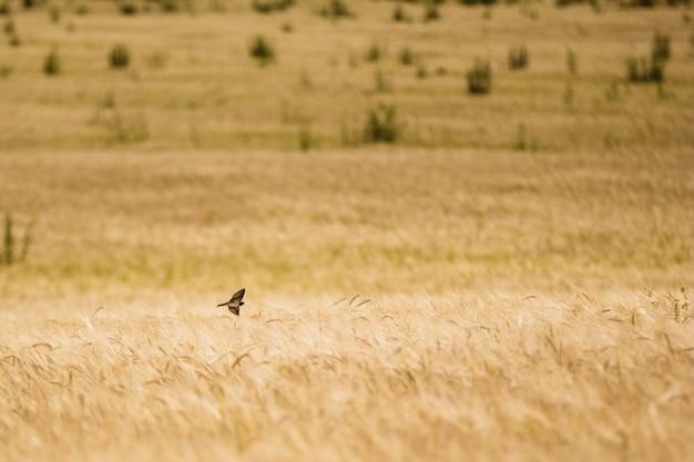 Vogel slik een zwaluw over een veld met tarwe