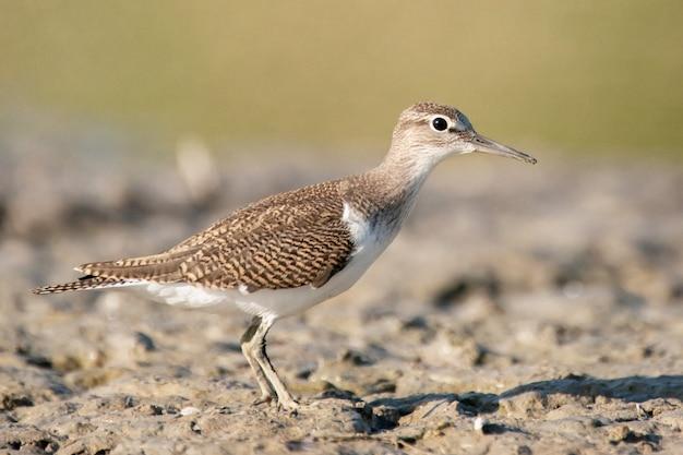 Vogel strandloper actitis hypoleucos.