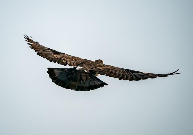 Vogel van de silhouet de vliegende duif in de hemel