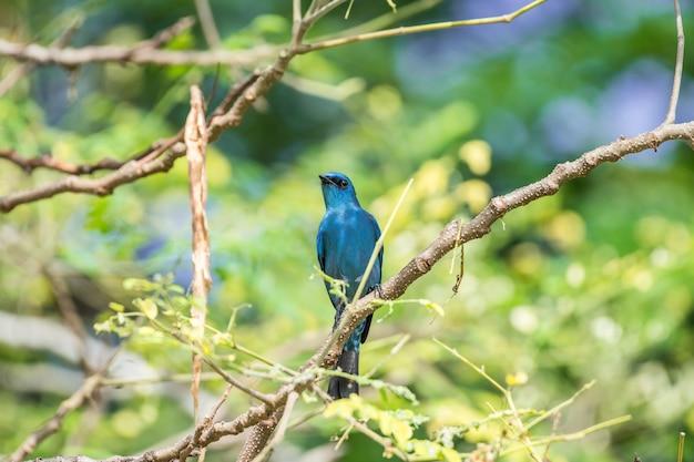 Vogel (verditer vliegenvanger, eumyias thalassinus) blauw op alle delen van het lichaam