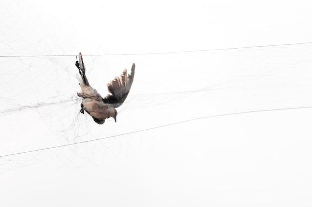 Vogel werd gevangen door een tuinman op een gaas op wit, illegal bird trap