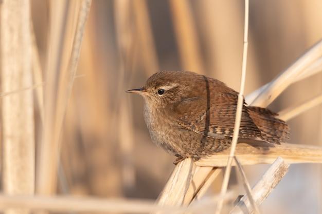 Vogel winterkoninkje troglodytes troglodytes. vogel in zijn leefgebied.