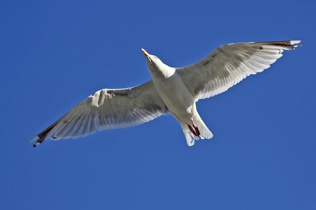 Vogel zeemeeuw die op blauw vliegt