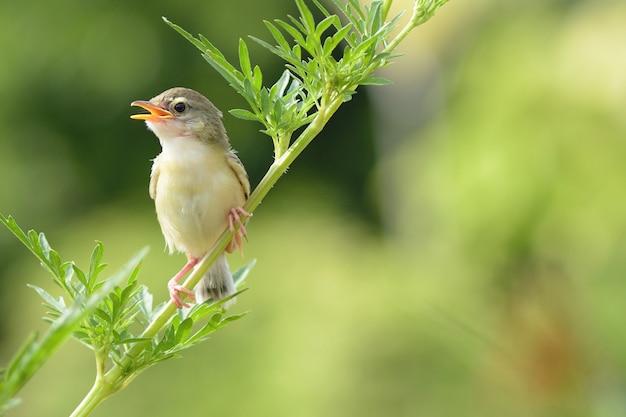 Vogel zit op de boomtak (bird common tailorbird) (orthotomus sutorius)