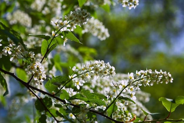 Vogelkersboom in volledige bloei
