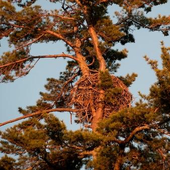 Vogelnest op een denneboom, lake of the woods, ontario, canada