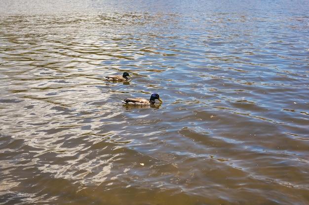 Vogels en dieren in de natuur. de grappige wilde eendeend zwemt in meer of rivier met blauw water.