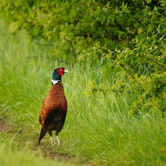 Vogels fazant phasianus colchicus mannelijke haan Premium Foto