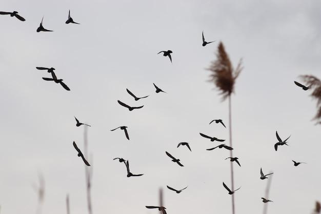 Vogels in de grijze lucht achter het riet