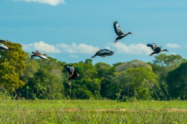 Vogels in het mato grosso wetland pocone mato grosso brazilië