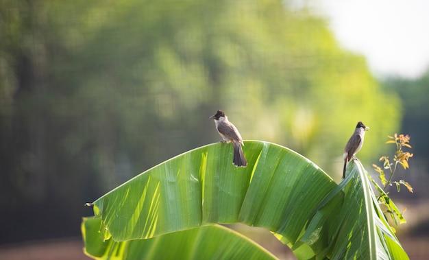 Vogels op bananenboom. bulbul met rode bakkebaarden