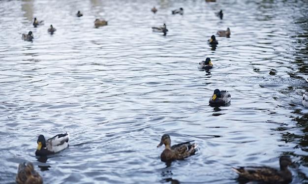 Vogels op de vijver. een zwerm eenden en duiven aan het water. trekvogels door meer.