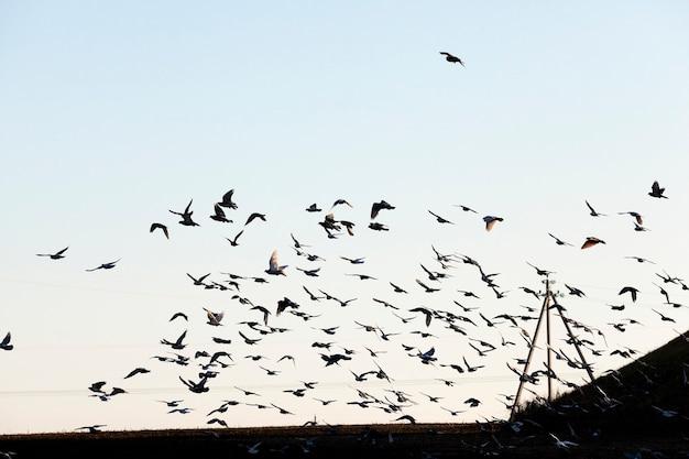 Vogels vliegen in de lucht, close-up blauwe lucht, waarin een zwerm vogels vliegt, zichtbare silhouetten, overdag,