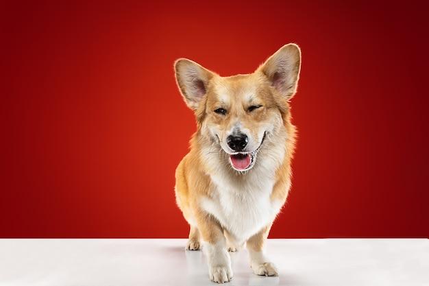 Vol vreugde. welsh corgi pembroke puppy poseren. het leuke pluizige hondje of huisdier zit geïsoleerd op rode achtergrond. studio fotoshot. negatieve ruimte om uw tekst of afbeelding in te voegen.