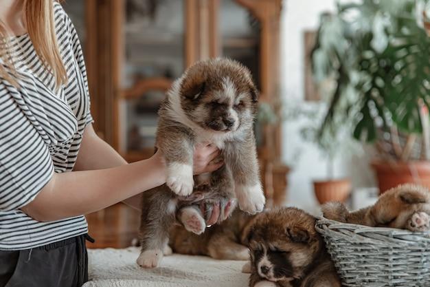 Volbloed kleine pluizige pup in de handen van de meesteres op een onscherpe achtergrond.