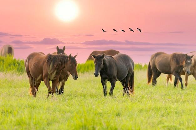 Volbloed paarden grazen bij zonsondergang in een veld.