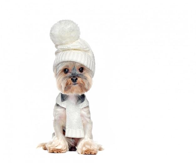 Volle lengte foto van een zittende hond met witte muts en sjaal