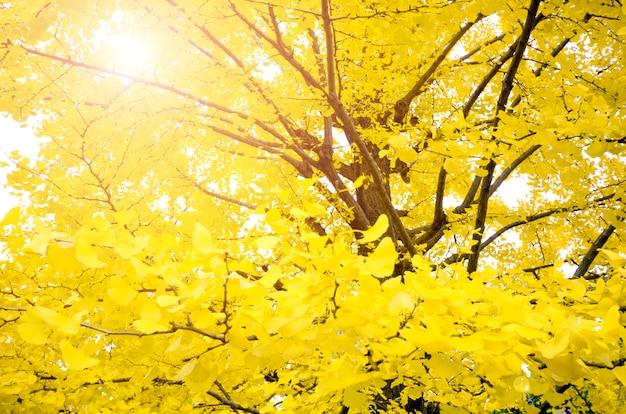 Volledig geel van ginkgo-de herfstbladeren met bokehachtergrond.
