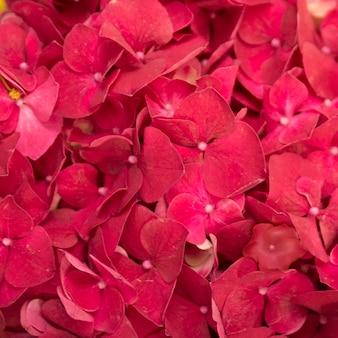 Volledig kader van rode hydrangea hortensiamacrophylla bloemen