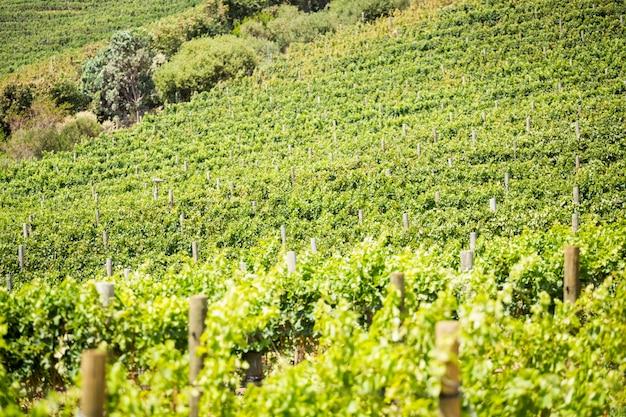 Volledig kaderschot van groene wijngaard