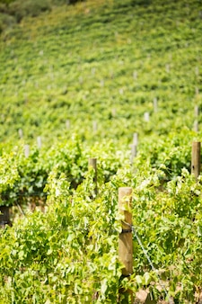Volledig kaderschot van wijngaard