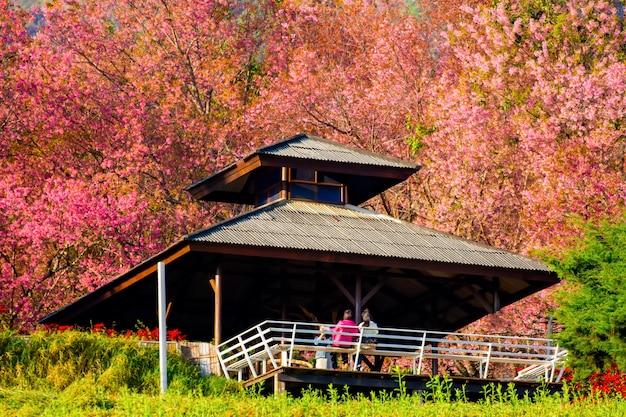 Volledig roze kersenbloesem op de lente in de ochtend in het noorden van thailand, plaatsnaam khun wang gelegen in chiang mai