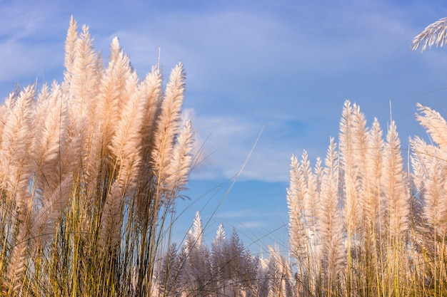 Volledig volwassen gebloeid kansgras of katjesbloemen onder de blauwe lucht op een zonnige dag