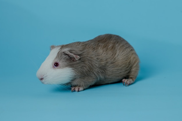 Volledige lichaamsfoto van cavia's premium foto