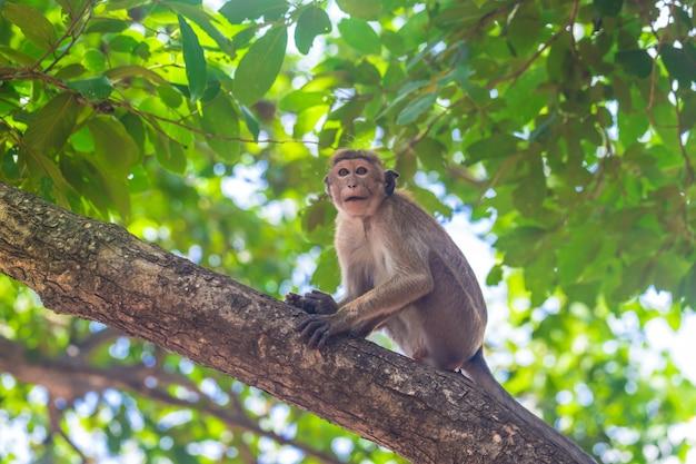 Volwassen aap zit op een tak in het bos van sri lanka