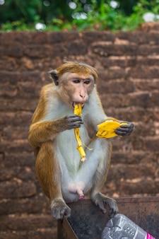 Volwassen aap zitten en bananen fruit eten in het bos van sri lanka