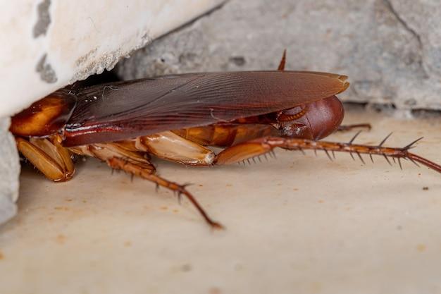 Volwassen amerikaanse kakkerlak van de soort periplaneta americana die eieren legt