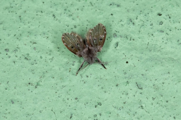Volwassen badkamermot mug van de soort clogmia albipunctata