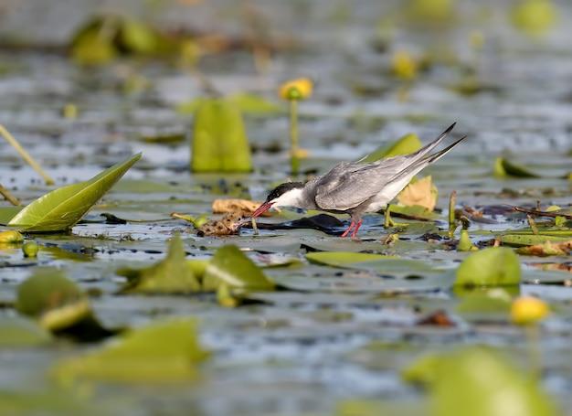 Volwassen bakkebaardstern voedt zijn kuiken bij het nest
