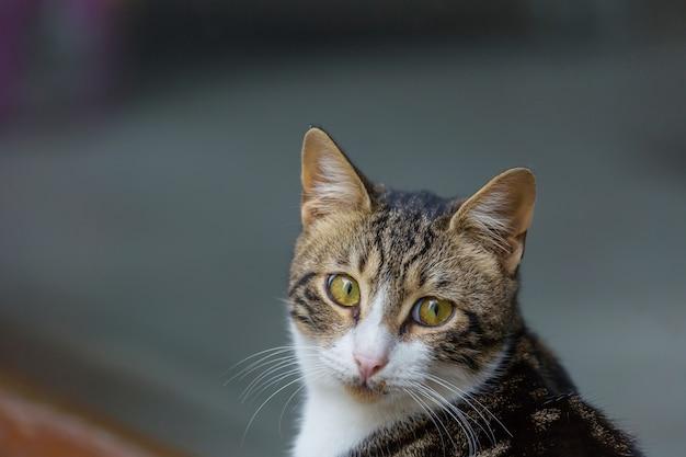 Volwassen binnenlandse kat portret close-up