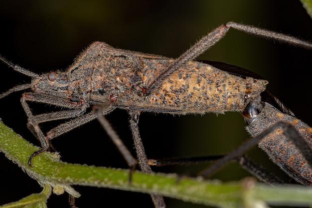 Volwassen bladvoetwants van de soort phthiacnemia picta