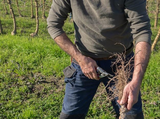 Volwassen boer die de wortels van een boom snijdt om deze in het veld te planten. agrarisch concept